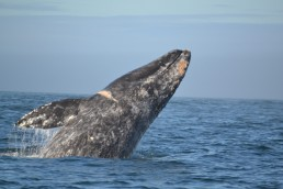 Gray whale breaching