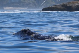 Oregon Whale Watching Tours | An adult gray whale in the summer feeding grounds eats approximately 2,400 pounds of food a day.